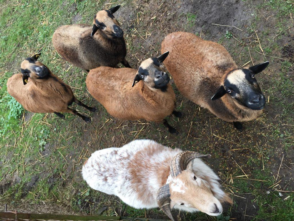 4 Schafe und ein Herr