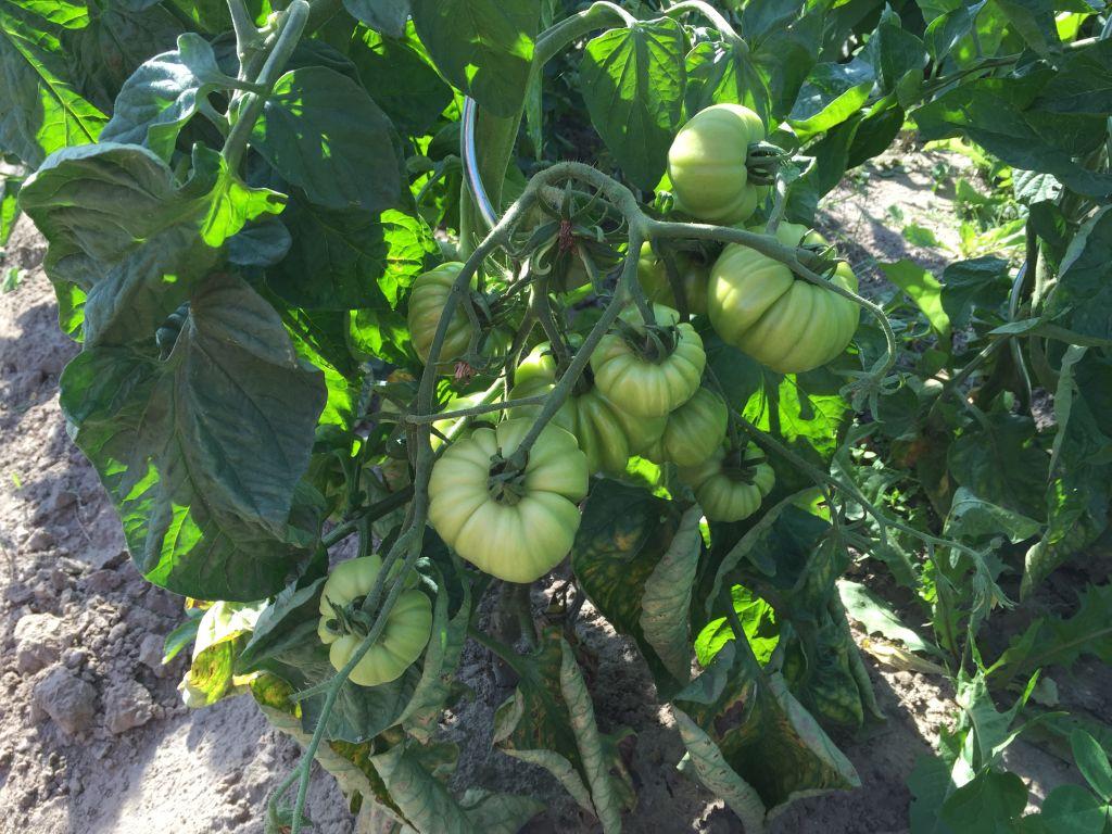 Tomaten im Freiland